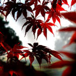 Sunlit Japanese Maple leaves on a misty morning