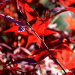 Japanese Maple leaves in autumn sunshine art photography