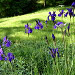 Art photo of hillside iris garden