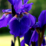 Art Photo of purple irises