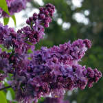 shop for lilac photo