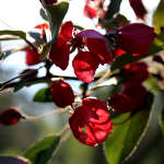 crabapple blossoms art photo