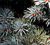blue spruce art photo